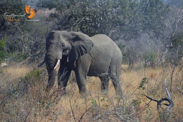 kruger elephant – DSC_6637