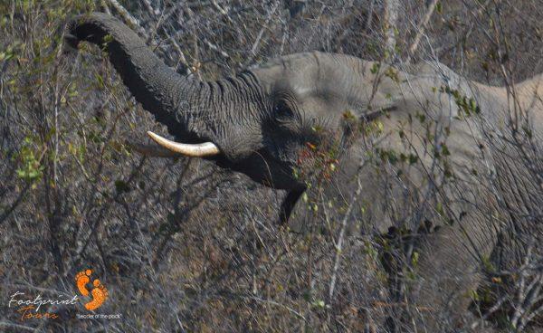 kruger elephant – safari – DSC_7199
