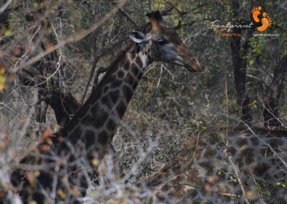 kruger giraffe – DSC_7291