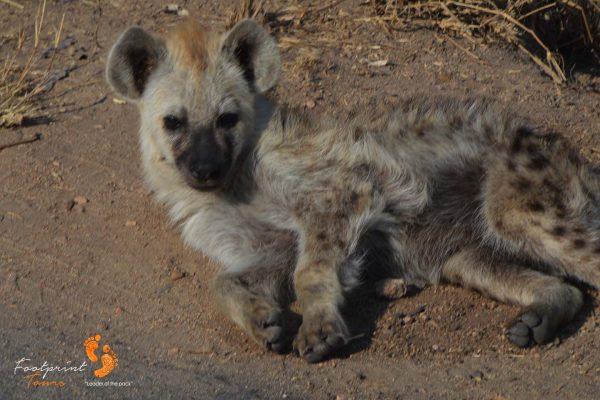 kruger – hyena – DSC_7184