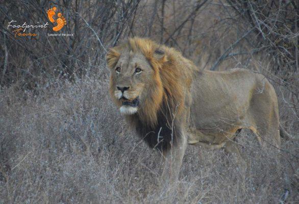 kruger nat park lion – DSC_6962