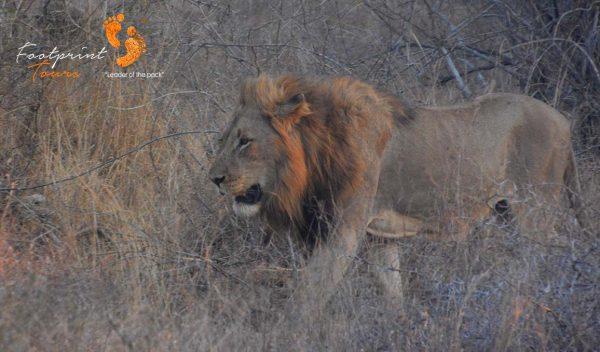 kruger nat park lion – DSC_6963