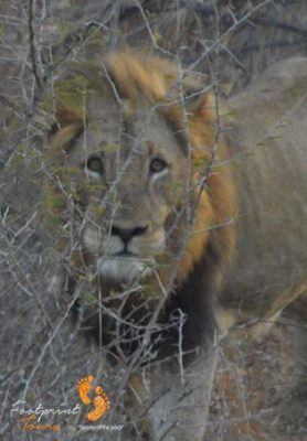 lion – game drive safari 2 – DSC_6959