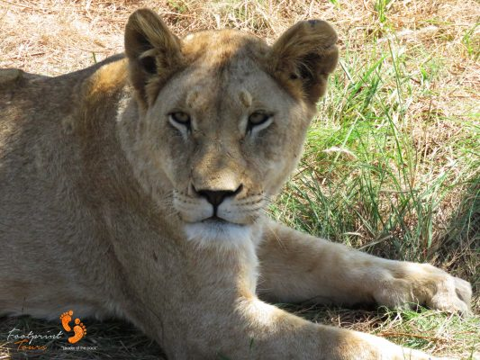 lion – game drive – safari – IMG_5445