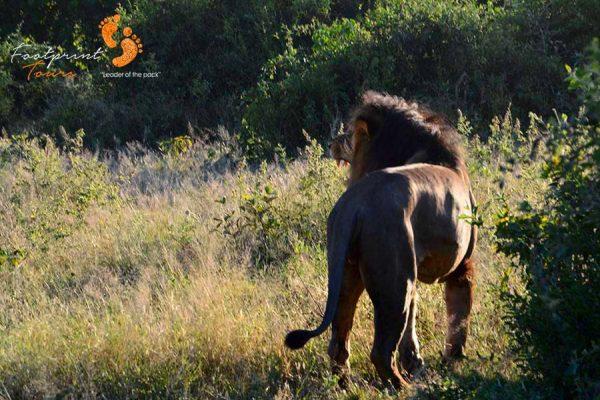 lion safari – game drive – DSC_9006
