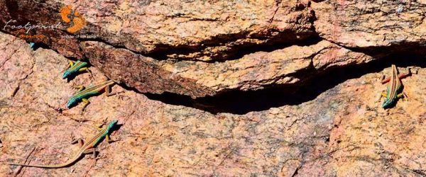 lizards – augrabies waterfalls2 – DSC_0591