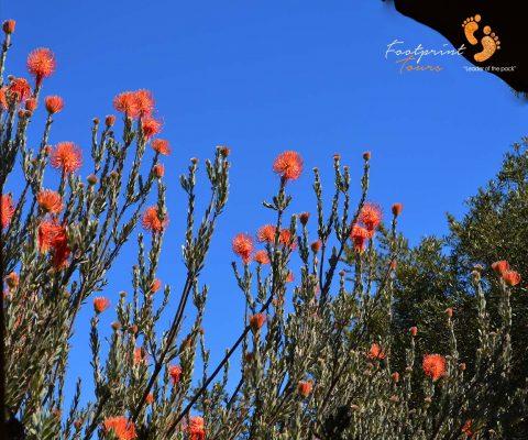 namaqua flowers – DSC_1098