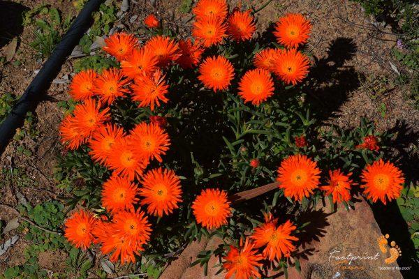 namaqua flowers – DSC_1197
