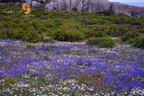 namaqua flowers – DSC_1737