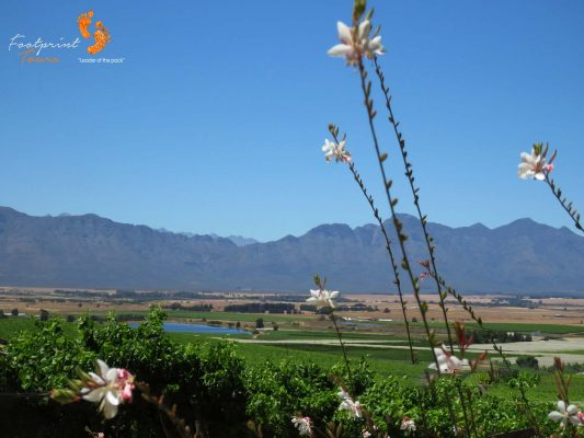 oilfants river valley vineyards – IMG_4478