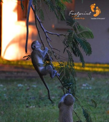playful monkeys – DSC_8924