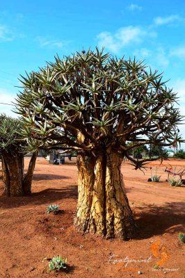 quiver tree – DSC_0904