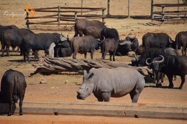 rhino & buffalo – DSC_6436