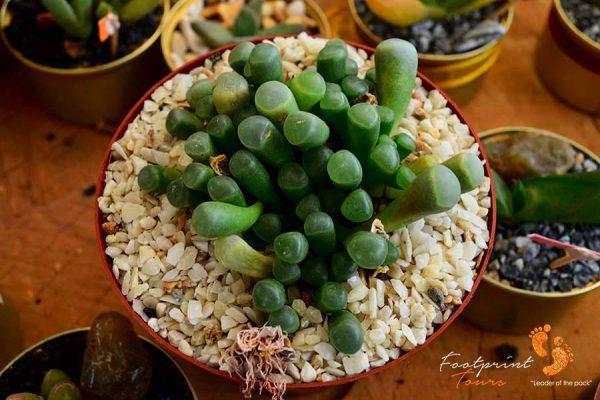 succulent – DSC_0880