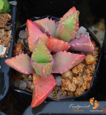 succulents – DSC_0877