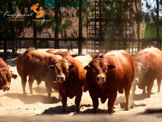 swartland cattle – west coast – IMG_4255