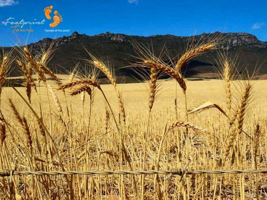 swartland wheat-corn – west coast – IMG_4460