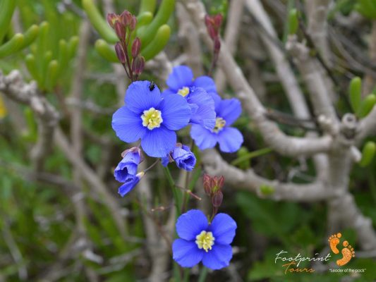 tiny blue flowers – namaqualand – DSC_1723