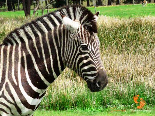 zebra – plettenberg bay – IMG_3072j