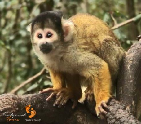 12. squirrel monkey – garden route