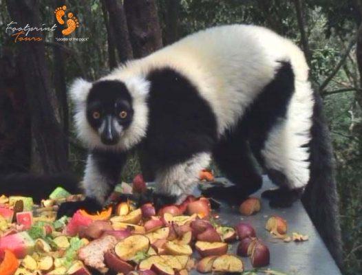 18. black & white ruffed lemur breakfast