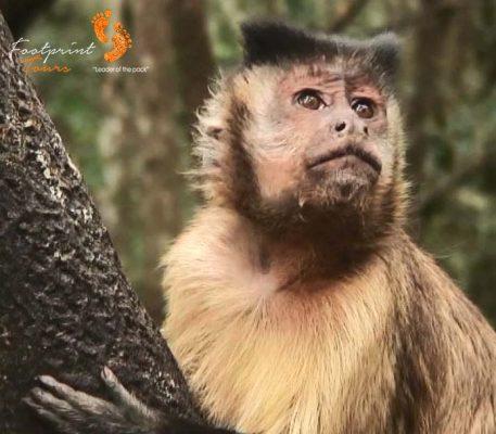 20. hooded capuchin monkey