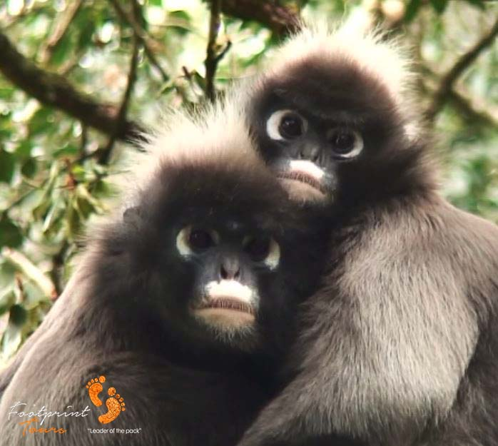spectacled monkeys in love