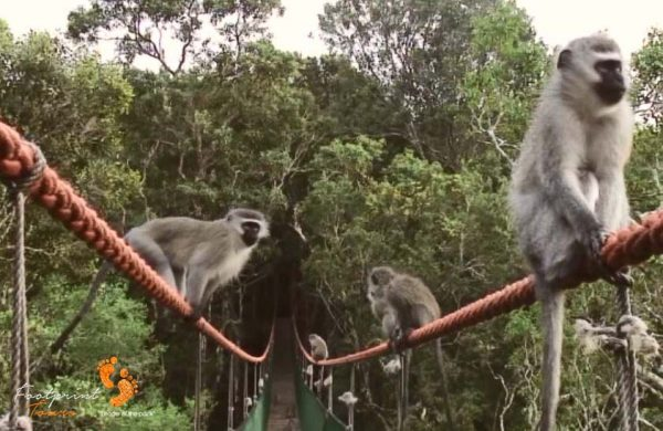 34. vervet monkeys on suspension bridge