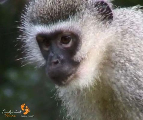 37. vervet monkey close-up