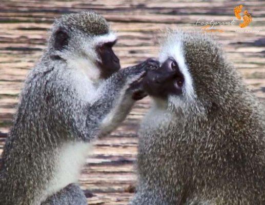 39. vervet monkey tender loving care