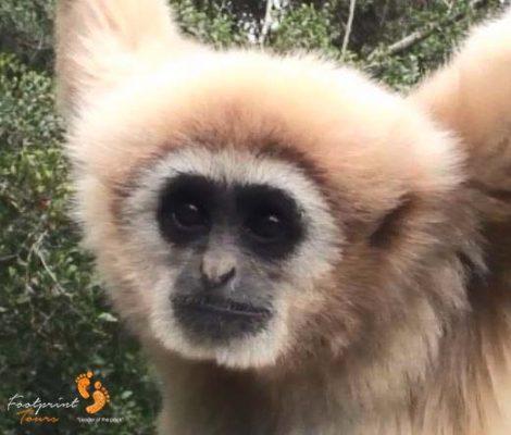 41. gibbon – garden route – close-up