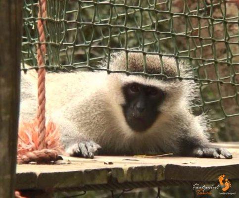 42. vervet monkey peeking