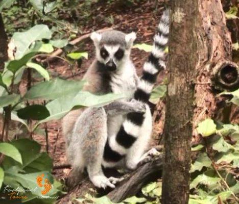 52. ring-tail lemur – garden route