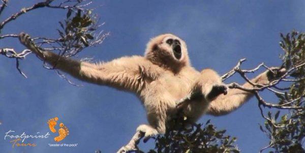 6. gibbons monkey – garden route