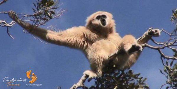 7. singing gibbons monkey – garden route