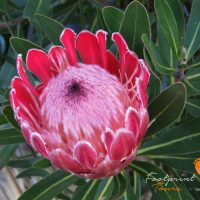 South Africa King Protea