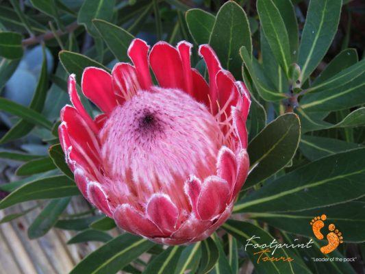 South Africa – King Protea – IMG_7731
