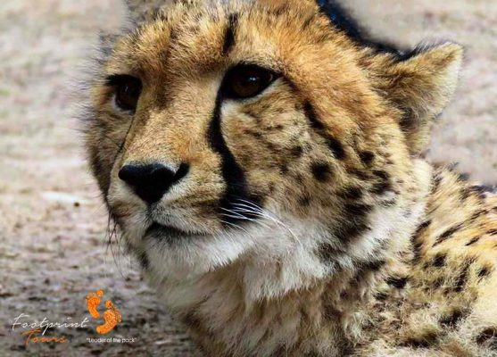 cheetah – garden route – IMG_2378