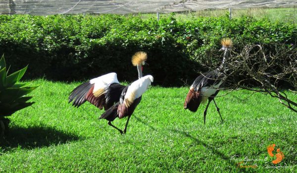 crowned crane – garden route – IMG_7679