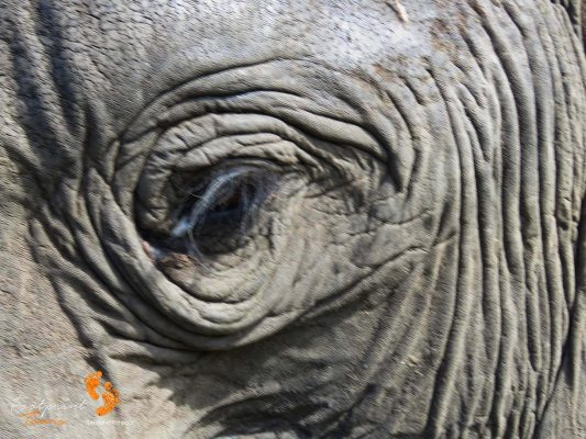 elephant eye – close encounter – IMG_6050
