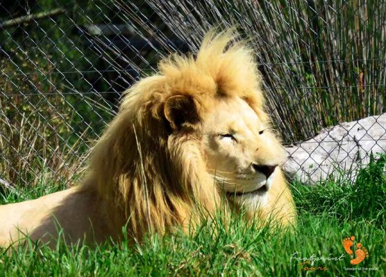 garden route lions – IMG_2990