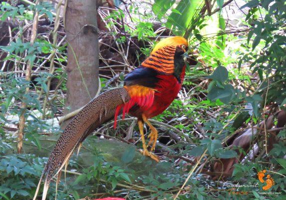 golden pheasant – garden route – IMG_7626