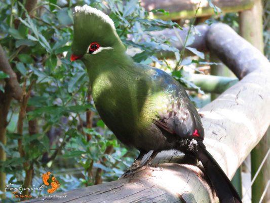 knysna loerie turaco – garden route – IMG_7563