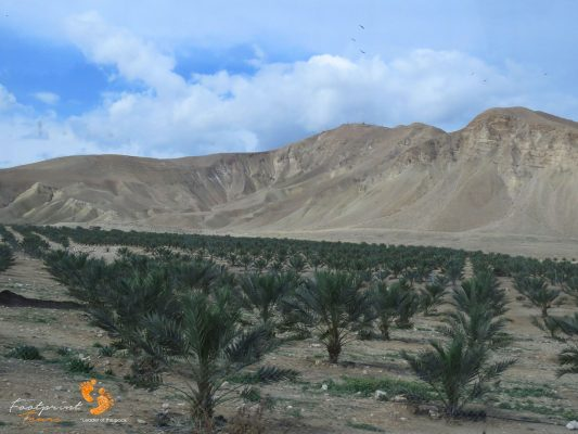 palmtrees in desert of Israel – IMG_6357