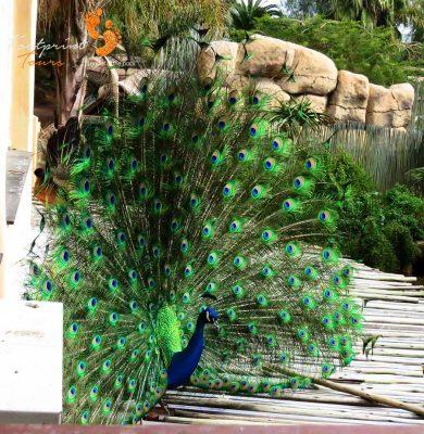 peacock – garden route – IMG_2406