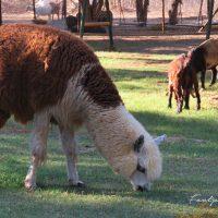 alpaca in namibia – IMG_1219