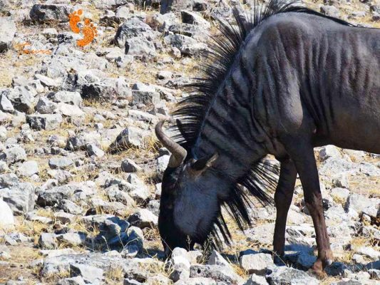 etosha – namibia – IMG_1597