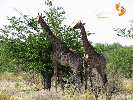 game drive – safari – giraffes- IMG_1550