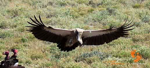game drive – safari – vulture – IMG_1559