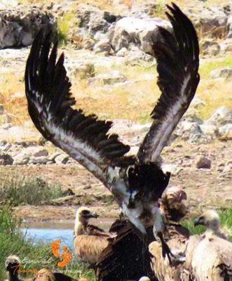 game drive – safari – vulture – IMG_1641